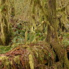 Picture - Rainforest scene on Maple Glade Trail in Olympic National Park, Washington.