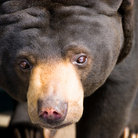 Picture - Sun bear at the Henry Doorly Zoo in Omaha.