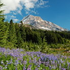 Picture - Meadow of Lupines on the slopes of Mount Hood.