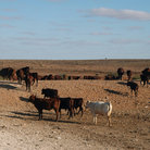 Picture - Cattle in the Outback.