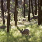 Picture - Kangaroos in the Outback.