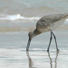 Picture - Willet bird feeding in the surf at Padre Island National Seashore.