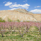 Picture - Peach blossoms at Palisade.