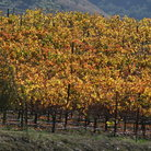 Picture - An orchard at Paso Robles
