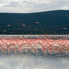 Picture - Flamingos at Pilanesburg National Park.