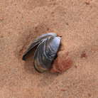 Picture - Mussel shell in Prince Edward Island National Park.