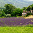 Picture - Field of lavender in Provence.