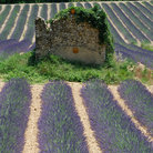 Picture - Lavender and old ruins at Plateau de Valensole, Provence.