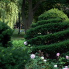 Picture - Manicured bush in Boston's Public Garden.