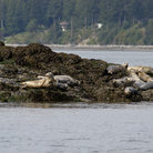 Picture - Harbor seals resting on an Island in Puget Sound.