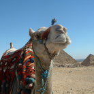 Picture - Camel in Giza.