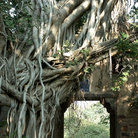Picture - A Banyan tree at the entrance gate of Ranthambore National Park and Tiger Reserve.