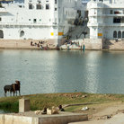 Picture - Cows, ghats and buildings along the shores of the Holy lake of Pushkar in the Thar Desert.