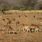 Picture - Spotted deer in Ranthambore National Park in Rajasthan.