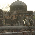 Picture - Hanuman langur on temple ruins at Ranthambore National Park.