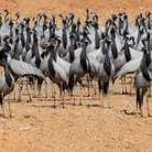 Picture - Demoiselle cranes in the Thar Desert, Rajasthan.