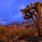 Picture - Yucca plant in the Red Rock Canyon National Conservation Area.