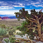 Picture - Green yucca plants in Red Rock Canyon National Conservation Area.