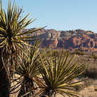 Picture - Cactus and mountains in Red Rock Canyon.