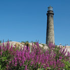 Picture - Wildflowers under the North Tower on Thatcher's Island, Rockport.