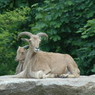 Picture - Aoudad Mother and Baby at Roger Williams Park Zoo.