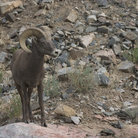 Picture - A bighorn sheep between Rocky Mountain National Park and Roosevelt National Forest.