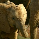Picture - Young Elephant in Samburu Game Park.