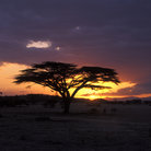 Picture - Sunset behind an acacia tree on the Shaba National Reserve.