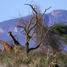Picture - Giraff and the beautiful landscape of the Shaba National Reserve.