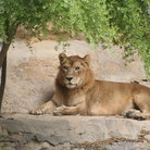 Picture - Lion at the San Antonio Zoo, Texas.