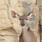 Picture - Antelope at the San Antonio Zoo, Texas.