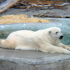 Picture - Polar bear resting at the San Francisco Zoo.