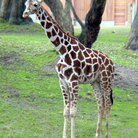 Picture - Giraffe at the San Francisco Zoo.