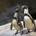 Picture - Penguins at the Santa Barbara Zoo.