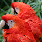 Picture - Scarlet Macaws at the Santa Barbara Zoo.