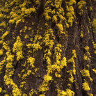 Picture - Yellow lichen growing on a Douglas Fir in Sawtooth National Forest.