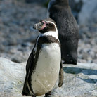 Picture - Two Humboldt penguins at Vienna Zoo.