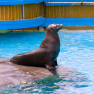 Picture - Sea lion awaiting food at Sea Life Park.