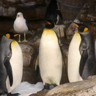 Picture - Penguins at SeaWorld, San Antonio, Texas.