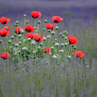 Picture - Poppies in a lavender field in Sequim, Olympic National Park.