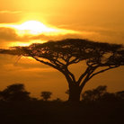 Picture - Sunrise and tree in Serengeti National Park.