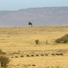 Picture - Wildebeest, Serengeti National Park.