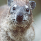 Picture - Rock Hyrax, a close relative of the elephant, sit on rocks in Serengeti National Park.