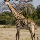 Picture - Giraffe standing on the plains of the Serengeti National Park.