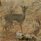 Picture - Kirk's Dikdik, a small antelope only 16 inches high, in the brush of Serengeti National Park.
