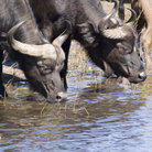 Picture - Buffalo drinking in Serengeti National Park.