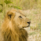 Picture - Lion, Serengeti Park.