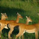 Picture - Impala in Serengeti Park.