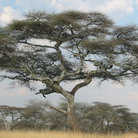 Picture - Solo tree in the Serengeti.