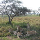 Picture - Female lions resting in the shade.